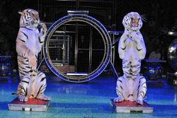 использование диких животных в цирке
