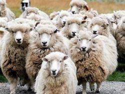 «дождь» из овец