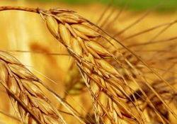 Урожай зерна в России составит 72 млн. тонн