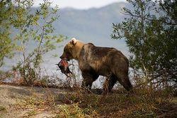 Какие последствия нападения на женщину медведя на Камчатке?