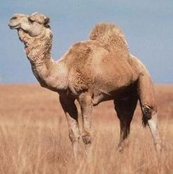 В Петербурге начали содержать верблюдов?