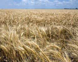 Чему равен рекордный урожай зерна в Украине?