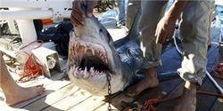 Ложная информация о пьяном сербе – убийце акулы-людоеда в онлайн новостях