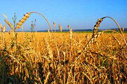 Инвесторам: стоит ли опасаться ограничений импорта зерна Россией?