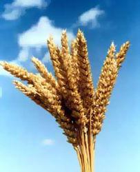 Торговая неделя для фьючерсов пшеницы завершилась умеренным подорожанием