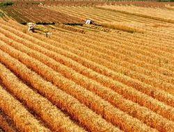 Экспорт украинского зерна падает из-за цен