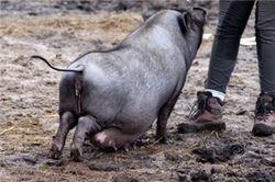 Суровая харьковская свинья убила хозяина?