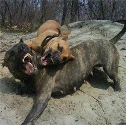 В Петербурге собака-убийца отгрызла старушке ногу