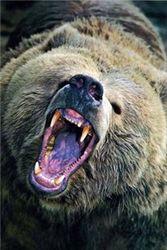 Откуда взялся медведь, убивший женщину?