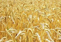Инвесторам: Экспорт пшеницы из Украины снизился в три раза