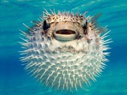 Яд рыбы фугу поможет при болях после химиотерапии – исследование