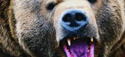 Медведь может быть очень опасен