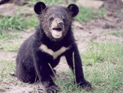 Уссурийский медвежонок