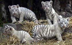 В Японии родилась четверка уникальных белых тигрят