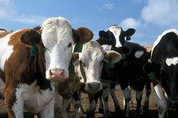Европейцы скрывали информацию о новом вирусе опасной болезни животных