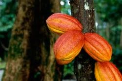 «Valrhona» намерена спасти исчезающий белый сорт какао-бобов