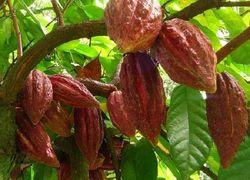 В Кот-д'Ивуаре эксперты прогнозируют богатый урожай какао-бобов