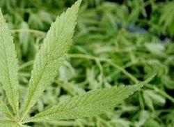Легализовав «траву», два штата нарушили федеральный закон США