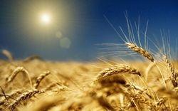 Цена на пшеницу по-прежнему остается зажатой фундаментальными факторами