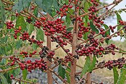 Плантации кофе по всему миру под угрозой – СМИ