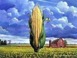 Уборка урожая кукурузы в США идет быстрыми темпами