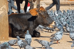 Коровы как угроза самолетам в Азии