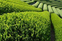 PR или панацея: зеленый чай обеспечит достойную старость
