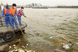 Число выловленных возле Шанхая мертвых свиней приближается к 13 тысячам