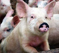 В Беларуси впервые опубликована карта распространения чумы свиней