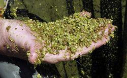 В Японии будут производить биотопливо из водорослей взамен авиакеросина