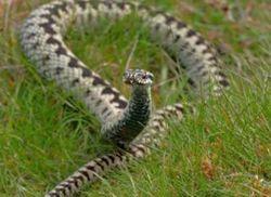 Зима в Украине еще не закончилась, а ядовитые змеи уже «вышли на охоту»