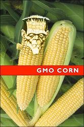 Дезавуированы выводы французов об онкогенном влиянии ГМ-кукурузы