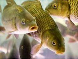 ценные виды рыб