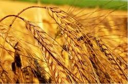 Продовольственная пшеница