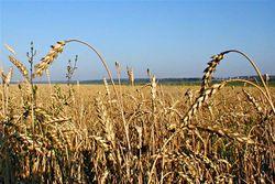 Импорт пшеницы в Иране увеличился в 100 раз