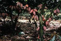 Рынок какао: цены растут, инвесторы опасаются сокращения запасов