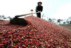 Урожай Бразильского кофе в 2013 году будет на уровне рекорда 2012 года