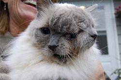 кот с двумя мордами