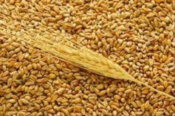 Котировки на пшеницу в Европе изменяются разнонаправлено, а в США падают