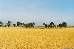 Идут вверх пшеничные котировки в Индии