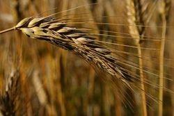 Пшеничные котировки к концу прошлой недели значительно укрепились