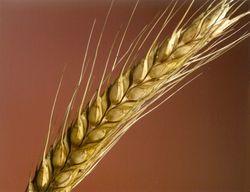 Под конец недели на ЕТС пшеничные контракты понизились