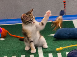 Уроки PR: американский телеканал анонсировал футбол для… котят