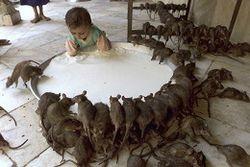нашествие крыс
