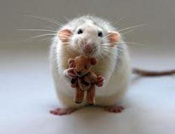 Прорыв в науке: ученые США научили крыс осязать мир по-иному