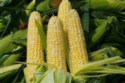 Американская кукуруза заняла уверенную позицию на торгах