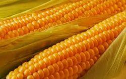 Дорогая американская кукуруза никому не нужна