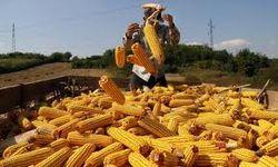 Экспорт украинской кукурузы вырос на 21,5 процентов