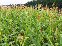квоты на кукурузу