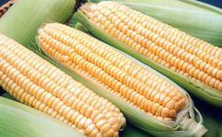 Кукуруза поддерживает украинский экспорт